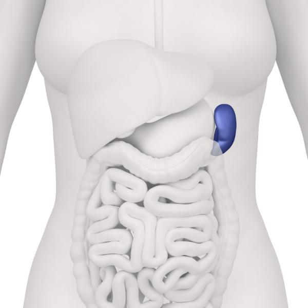 Bazo inflamado: causas, síntomas y tratamiento - Funciones del bazo