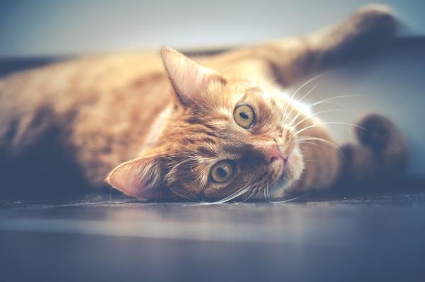 Si tengo asma, ¿puedo tener gato? - Sufro de asma, ¿puedo tener gato?