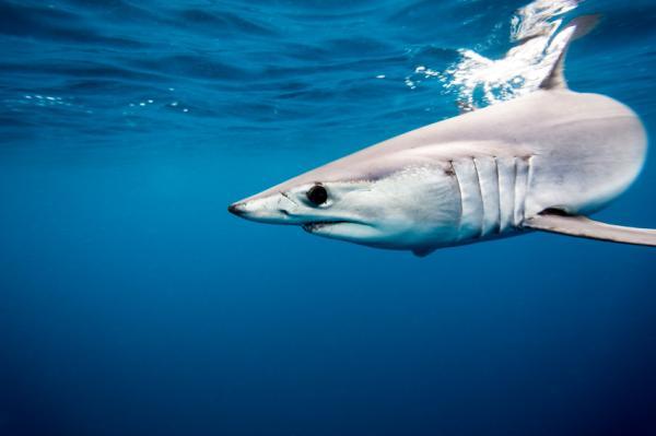 Cartílago de tiburón: propiedades y contraindicaciones