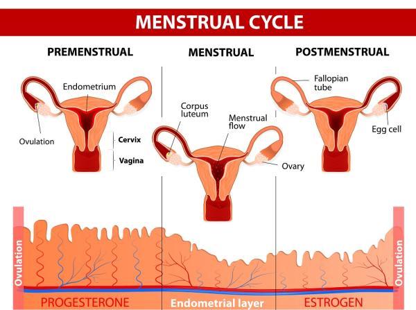¿La menstruación engorda? - Ciclo menstrual