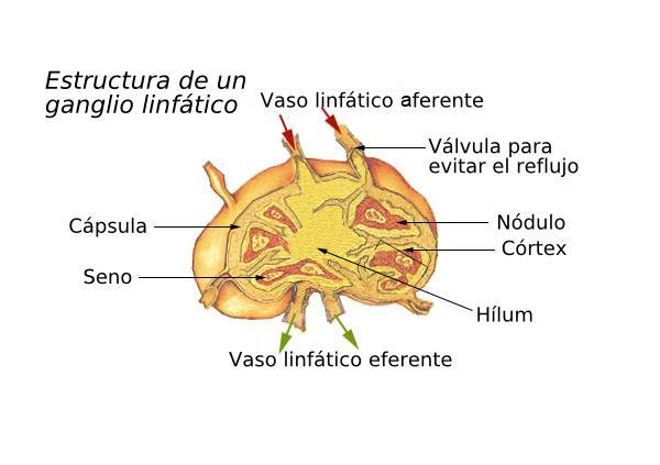Axilas inflamadas: causas y tratamiento - Ganglios en las axilas inflamados