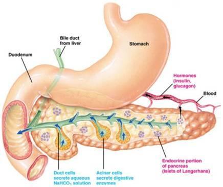Cáncer de páncreas: causas, síntomas y tratamiento - Tipos de cáncer de páncreas según las glándulas implicadas