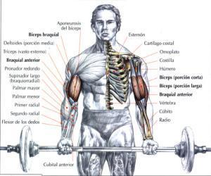 Ejercicios para bíceps - Lista de ejercicios