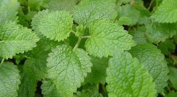 Melipass: tranquilizante natural, efeitos e dosagem - Os benefícios da erva-cidreira